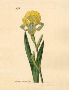 Iris sordida by John Curtis