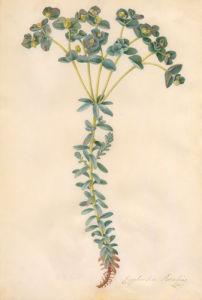 Euphorbia paralias by Georg Dionysus Ehret