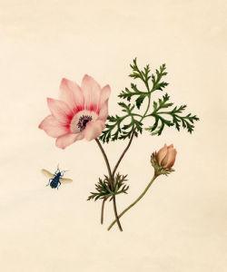 Anemone blanda by Caroline Maria Applebee