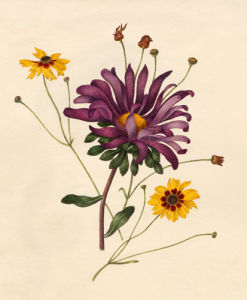 Callistephus chinensis, Coreopsis tinctoria by Caroline Maria Applebee