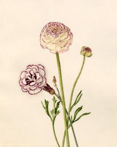 Dianthus plumarius : Ranunculus asiaticus by Caroline Maria Applebee