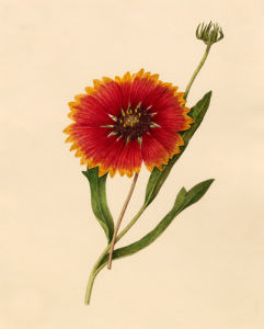 Gaillardia pulchella by Caroline Maria Applebee