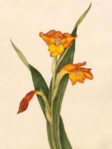 Gladiolus dalenii by Caroline Maria Applebee