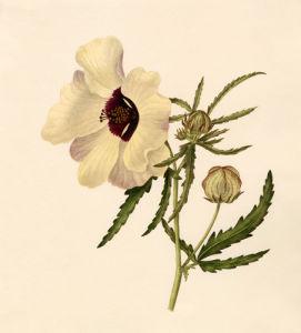 Hibiscus trionum by Caroline Maria Applebee