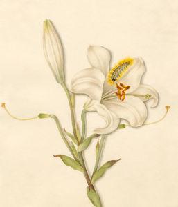 Lilium candidum by Caroline Maria Applebee