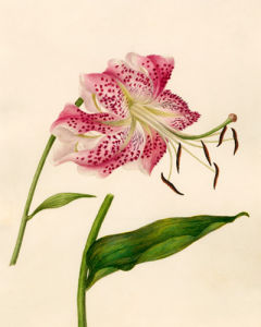 Lilium speciosum by Caroline Maria Applebee