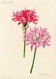 Nerine manselli, flexuosa alba x Lady St Oswald by Lillian Snelling