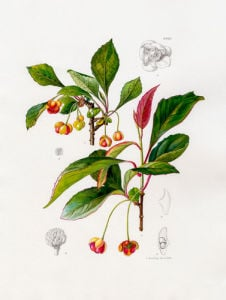 Schisandra sphenanthera by Lillian Snelling