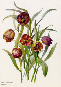Fritillaria califolia by Lillian Snelling
