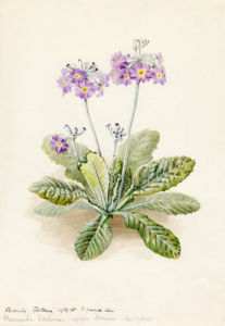 Primula fortunei by Lillian Snelling
