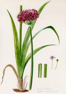 Allium wallichii by Lillian Snelling