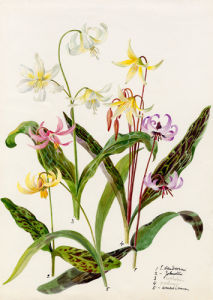 Erythronium varieties by Lillian Snelling