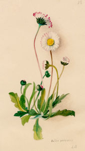 Bellis perennis by Lillian Snelling