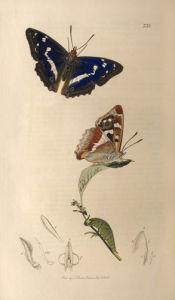 Apatura iris by John Curtis