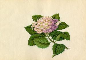 Hydrangea macrophylla by Wang Lui Chi