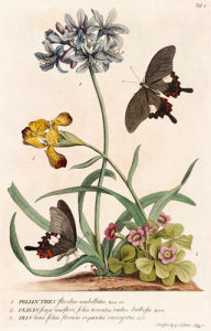1. Polyanthes, 2. Oxalis, 3. Iris by Georg Dionysus Ehret