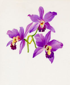 Cattleya by Lillian Snelling