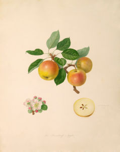 The Borsdorff Apple by William Hooker