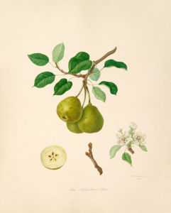The Aston Town Pear by William Hooker