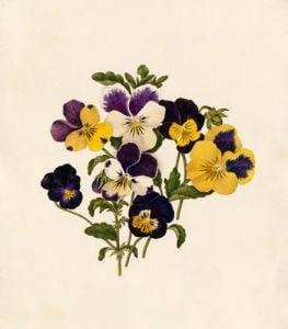 Viola tricolor III by Caroline Maria Applebee