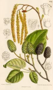 Alnus cordata by Curtis's Botanical Magazine