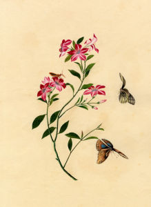 Bauhinia purpurea L. by Anonymous