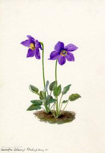 Meconopsis Delavayi by Lillian Snelling