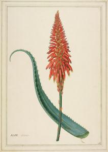 Aloe arborea by Georg Dionysus Ehret