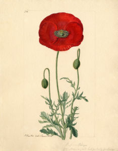 Papaver rhoeas by John Curtis