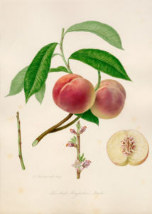 The Red Magdalene peach by William Hooker