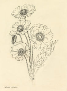 Papaver nudicaule by Cynthia Newsome-Taylor