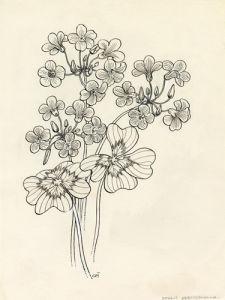 Oxalis adenophylla by Cynthia Newsome-Taylor