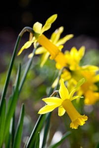Narcissus 'Peeping Tom' by Mark Bolton