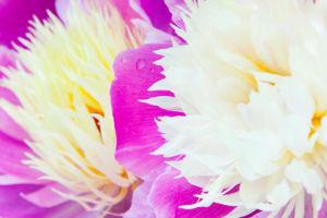 Paeonia lactiflora 'Bowl of Beauty' by Lee Beel
