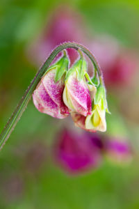 Sweet Pea 'Cappuccino Mix' by Lee Beel