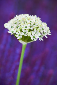 Allium nigrum by Lee Beel