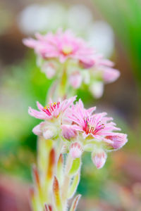 Sempervivum 'Jubilee' by Lee Beel
