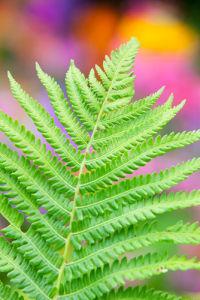Dryopteris cristata by Lee Beel