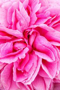 Rosa (Gertrude Jekyll) = 'Ausbord' by Lee Beel