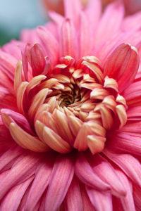 Chrysanthemum 'Bronze Mayford Perfection' by Carol Sheppard