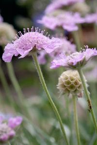 Scabiosa graminifolia by Carol Sheppard