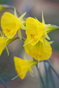 Narcissus bulbocodium subsp. praecox 'Moulay Brahim' by Carol Sheppard