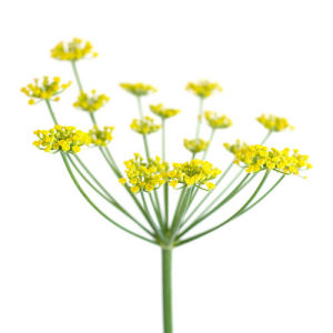 Fennel by Deborah Schenck