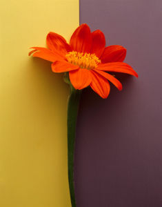 Orange Daisy by Deborah Schenck