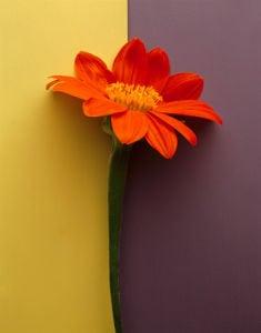Orange Daisy by Deborah Schenck