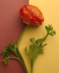Orange Ranuculus by Deborah Schenck