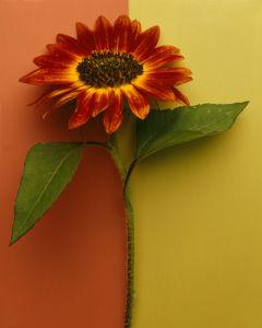 Orange Sunflower by Deborah Schenck