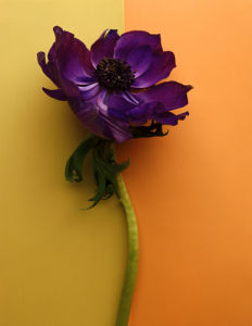 Purple Anenome by Deborah Schenck