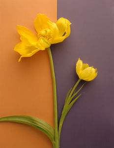 Yellow Tulip by Deborah Schenck