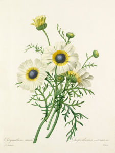 Chrysanthéme carené : Chrysanthemum carinatum by Pierre Joseph Celestin Redouté